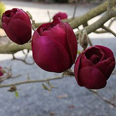 Magnolia 'Black Tulip'. A magnificent dark magnolia, one of the darkest, with cup-shaped deep burgundy flowers.