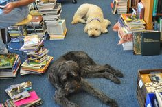 Booker and Dewey, the Labradoodles of Black River Books in South Haven, Michigan