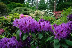 dark purple rhody