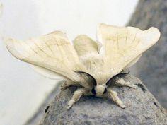 white silk moth