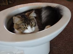 Dexter Kitty guards a new toilet (kitty condo) unpacked in the living room and ready for installation.