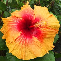 Tropical Hibiscus 'Juggernaut'