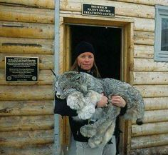 Canadian Lynx - What a magnificent creature! Just look at the size of those Paws. I WANNA HOLD IT
