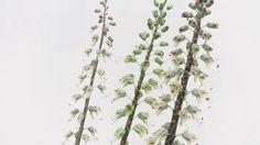 Lachenalia zebrina var - Rare Zebra-Flower from Africa's Succulent Karoo Seed Bank, Growing Seeds, Rare Flowers, Planting Flowers, Succulents, Plant, Strange Flowers, Succulent Plants