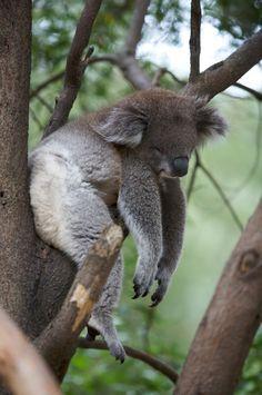 Amazing wildlife - Sleeping Koala #koalas