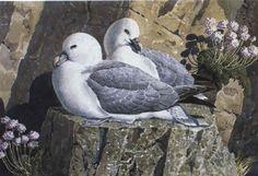 Fulmars sitting on a rocky ledge