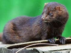 The American mink has invaded several countries, including Ireland, Scotland, Br… - Animal Kingdom Mink Animal, Animal Of Scotland, Canadian Animals, British Wildlife, Animal Cruelty, Animal Welfare, Animal Kingdom, Mammals, Cute Animals