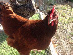My chicken Red:)