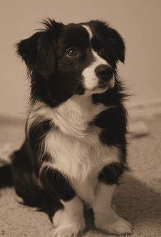 Borgi (border collie & corgi). Could be fun to have a BORG DOG! Call him 7 of 9, or whatever his number in the litter is?