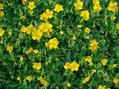 Helianthemum nummularium Common Rockrose