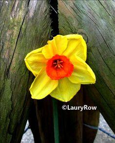 #Narcisse  Photo prise le 2/04/2017* // ©LauryRow.