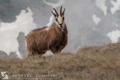 Chamois, the Tatra Mountains. Tatra Mountains, Brown Bear, Wild Animals, Wildlife Photography, Pictures, Wild Ones, Nature Photography
