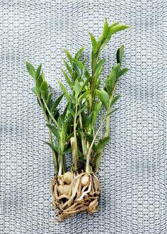Groen wonen   Zamioculcas natuurlijke krachtpatser voor thuis - woonblog StijlvolStyling.com