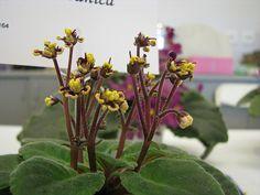 Botanica African Violet by manda bob, via Flickr