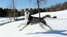 Post with 137 votes and 18179 views. Tagged with Funny, , ; Siberian Husky Max Gives Me a Funny Face Husky Breeds, Dog Breeds, Siberian Husky Funny, Siberian Huskies, Funny Husky Meme, Popular Dog Names, Husky Faces, Cute Funny Dogs, Baby Dogs