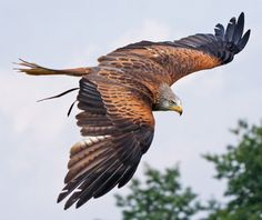 A Red Kite, one of my favourite birds :D