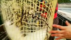 """El salmón de Chile no puede respirar en el sur del país. Es la última consecuencia del Fenómeno del Niño. La muerte de este pez ya se cuenta en toneladas: unas 26.000 de momento. La causa: esta microalga tóxica. Pero ¿por qué exactamente? Porque el Niño ha provocado un considerable aumento de la temperatuda del mar, y el alga ha invavido todas estas piscifactorias. Roba el oxígeno de los salmones y en definitiva: """"Los salmones empiezan a ahogarse, se asfixian, y mueren."""" Para que no mueran…"""