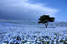 """Dreams in Blue Each year these blossoming blue fields attract thousands of tourists. Hitachi Park is located in the Ibaraki Prefecture on Honsyu in Japan. Its a beautiful spectacle during the flowering of the nemophila. Nemophilas are annual flowers. The word is a combination of the Greek words """"nemos"""" (small forest) and """"phileo"""" (love). The Japanese word """"hitachi"""" translates to dawn. Taken together: """"small forest love in dawn."""" A blue heaven on Earth."""