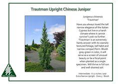 Juniperus-chinensis-Trautman