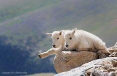 That Way (2) (mountain goat - Oreamnos americanus) - photo by Tin Man Lee