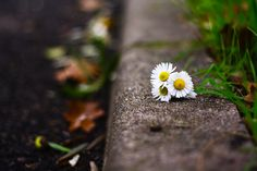 These flowers brighten everything ☀ Daisies on a sidewalk. Amazing Gardens, Beautiful Gardens, Beautiful Flowers, Daisy Wallpaper, Wallpaper Backgrounds, Types Of Lilies, Daisy Image, Daisy Love, Daisy Daisy