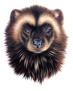 wolverine aRt by stephanie clark. the wolverine carries with it the passion for truth and learning, and for pursuing goals with fierce determination. Wolverine Animal, Wolverine Art, Baby Wolverine, Honey Badger Tattoo, Wolverine Tattoo, Polychromos, Animal Totems, Animal Faces, Wildlife Art