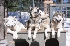 When you think of the furry, thick-coated Siberian Husky, you might picture frigid temps in Alaska, sled races and mounds of snow. Yet this friendly, affectionate, high-energy pet enjoys great popularity in many climates. However, this working breed dog isn't the greatest choice if you're looking for a guard dog.