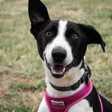 Bentley - Dogs for Rehoming and Adoption - Wood Green Animals Charity. Bentley is a 4yr. 3mo.old male Lurcher. A Lurcher is not a pure breed but is the offspring of a sight hound like a Greyhound & a pastoral breed or terrier type dog most likely a Border Collie judging by Bentley's coloring & energetic behavior.