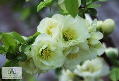 1000+ images about Chaenomeles on Pinterest | Early spring, Fruit ... Leaf Flowers, White Flowers, Beautiful Flowers, Chaenomeles, Arbors Trellis, Flower Art, Art Flowers, Variegated Plants, Moon Garden