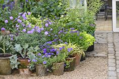 Claus Dalbys planter stauder i krukker, som er hårdføre og nemt klarer frost.Det gælder f.eks. Scabiosa.