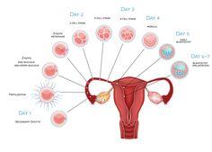 Blastocyst or day three embryo