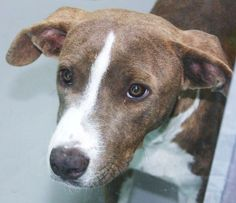 *GYPSY-ID#A673729    Shelter staff named me GYPSY.    I am a female, brown brindle and white Pit Bull Terrier.    The shelter staff think I am about 7 months old.    I have been at the shelter since Sep 22, 2012.