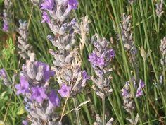 Lavandula officinalis (angustifolia)