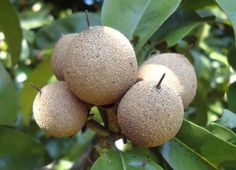 Sapoti - O sapoti é o fruto de uma árvore da família das Sapotáceas - Sapotizeiro - natural das Antilhas es bem aclimatado no Brasil.