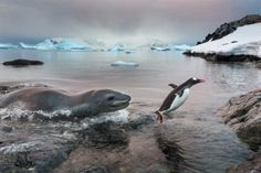 En la Antártica...- cazando con leopar-dos marinos