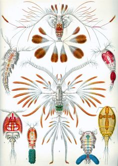 """""""Copepoda"""", lithograph of a watercolor by Ernst Haeckel, from his book Kunstformen der Natur (Art Forms of Nature), Germany. Illustration Photo, Nature Illustration, Illustrations, Botanical Illustration, Botanical Art, Science Illustration, Ernst Haeckel, Art Et Nature, Science Nature"""