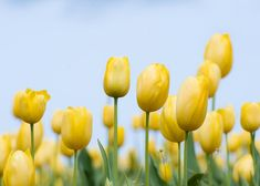 Yellow Tulips with blue sky by FloatingLeafArts on Etsy