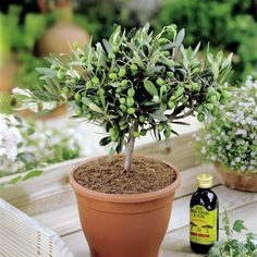 Olivia Europeana Olive tree - Small but mature with thick stem - ideal small gift Best4garden http://www.amazon.co.uk/dp/B007BNWMAA/ref=cm_sw_r_pi_dp_Wl5kwb1GB4CMS