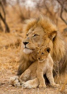 Lion with his cub