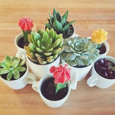 I wanted all of these little succulents in white pots but haven't found any so far. Luckily we have an extensive collection of white tea cups and coffee mugs. Whatever works right?