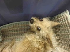 4/12/17 LA ANIMAL SERVICES SWEETY PIE ID A1689504 INTAKE April 2/17 Spayed 11 pound female. 7 Years old.