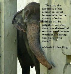 """One day the absurdity of the almost universal human belief in the slavery of other animals will be palpable. We shall then have discovered our souls and become worthier of sharing this planet with them"""" - Martin Luther King Animals And Pets, Cute Animals, Strange Animals, Wild Animals, Baby Animals, Elephas Maximus, Stop Animal Cruelty, Elephant Love, Elephant Quotes"""