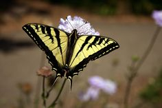 butterfly screensavers and backgrounds free
