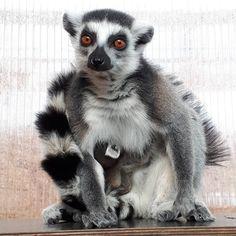 Süßer Nachwuchs bei unseren Kattas! 😍 #zoorostock #zoo #rostock #mv #mvtutgut #besterzoohro #meinrostock #nationalgeographic #darwineum #darwineumistinklusive #katta #natur #tier #tierfotografie #fotografie #lemur #ringtailedlemur #baby #animalbaby #nature #animals #animallovers #animalsofinstagram #instaanimal #animallove #animalphotography #photography #nofilter #wednesday #themiddle  Foto: Zoo Rostock / Pollmer