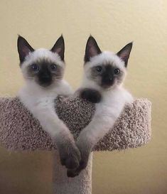 Have a lovely day - your daily dose of funny cats - cute kittens - pet memes - pets in clothes - kitty breeds - sweet animal pictures - perfect photos for cat moms Siamese Kittens, Cute Cats And Kittens, Cool Cats, Kittens Cutest, Pretty Cats, Beautiful Cats, Animals Beautiful, Cute Baby Animals, Funny Animals
