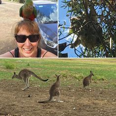 Kangaroos koalas parrots oh my! All spotted in the wild on the Great Ocean Road (basically Australia's Highway 1). Also driving on the left is hard and HOOK TURNS ARE THE ACTUAL WORST. #murphplaylove #greatoceanroad by likedanbutlouder
