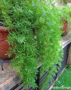 Asparagus Fern-Easy Care Hanging Plant-How To Grow Care Guide At: Purple Plants, Plants, Balcony Plants, Asparagus Fern, Outdoor Garden Statues, Planting Flowers, Tropical Garden, Hanging Plants, Shade Plants