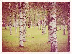 Helsinki - grove of birch