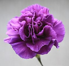 The addition of purple Carnation's to your wedding bouquet will make it look striking. This classic flower has a large circular shaped bloom with ruffled petals. The purple Carnation adds depth and sophistication to your floral decorations.