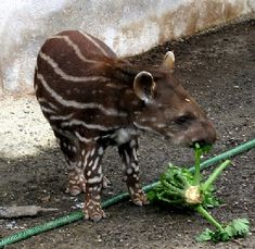 A baby Brazilian tapir with spots and stripes characteristic of all juvenile tapirs